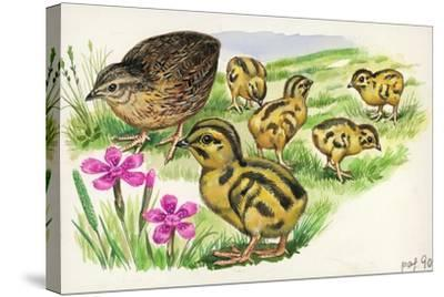 Common Quail Coturnix Coturnix with Chicks--Stretched Canvas Print