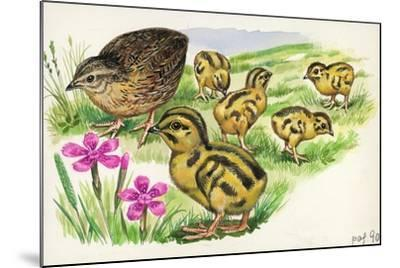 Common Quail Coturnix Coturnix with Chicks--Mounted Giclee Print