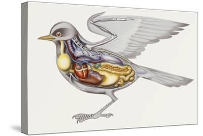 Zoology: Birds, Anatomy--Stretched Canvas Print
