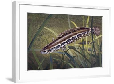 Obscure Snakehead (Parachanna Obscura), Channidae--Framed Giclee Print