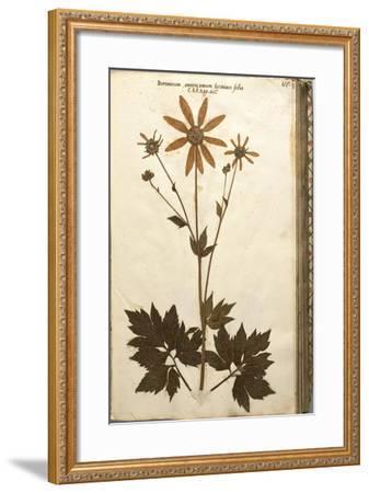 Doronicum Americanum Lacinato Leaves--Framed Giclee Print