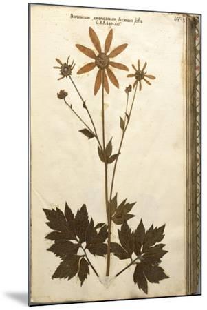 Doronicum Americanum Lacinato Leaves--Mounted Giclee Print