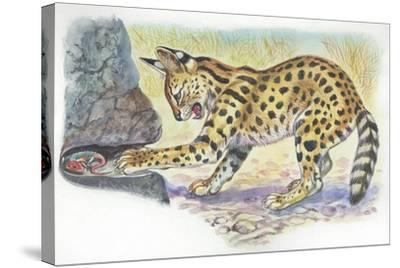 Serval Felis Serval Catching Reptile--Stretched Canvas Print