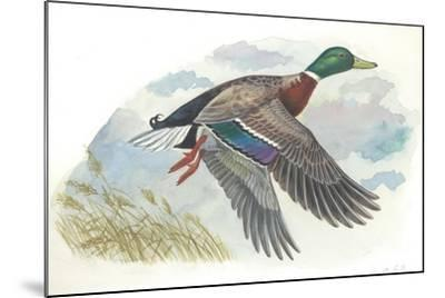 Male Mallard Anas Platyrhynchos in Flight--Mounted Giclee Print