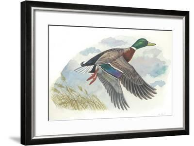 Male Mallard Anas Platyrhynchos in Flight--Framed Giclee Print