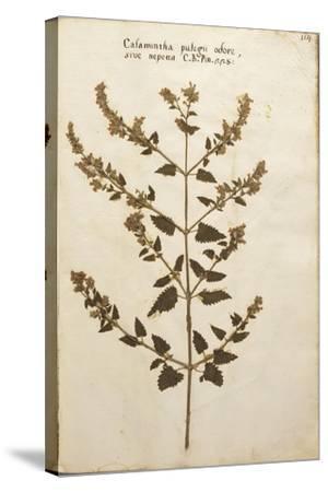 Wild Basil (Calamintha Clinopodium)--Stretched Canvas Print