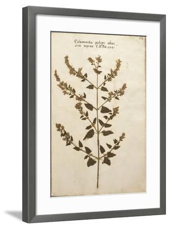 Wild Basil (Calamintha Clinopodium)--Framed Giclee Print