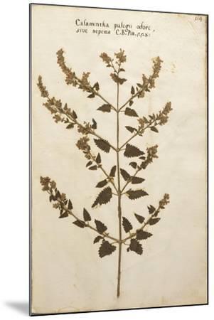 Wild Basil (Calamintha Clinopodium)--Mounted Giclee Print