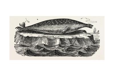 The Sea-Leopard, Sea Leopard--Framed Giclee Print