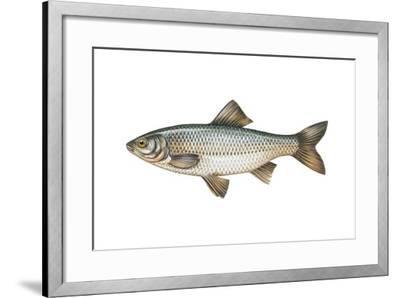 Danube Roach (Rutilus Pigus)--Framed Giclee Print