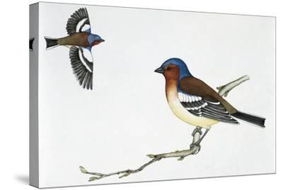 Chaffinch (Fringilla Coelebs), Fringillidae--Stretched Canvas Print
