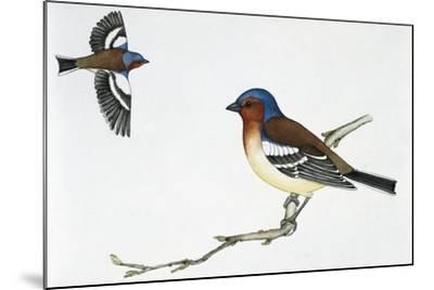 Chaffinch (Fringilla Coelebs), Fringillidae--Mounted Giclee Print