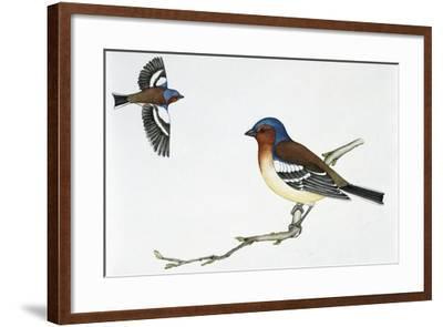 Chaffinch (Fringilla Coelebs), Fringillidae--Framed Giclee Print