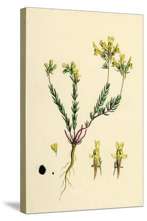 Linaria Supina; Decumbent Toadflax--Stretched Canvas Print