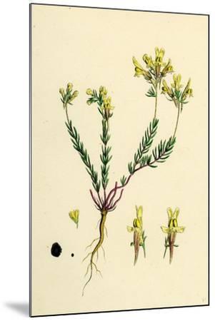 Linaria Supina; Decumbent Toadflax--Mounted Giclee Print