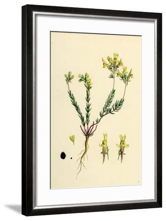 Linaria Supina; Decumbent Toadflax--Framed Giclee Print