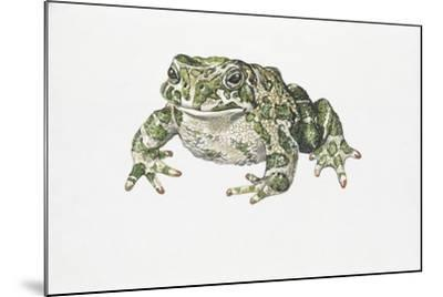 European Green Toad (Bufo Viridis)--Mounted Giclee Print