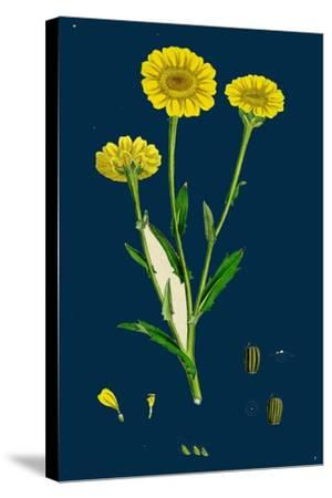 Poa Pratensis, Var. Subcaerulea; Smooth Meadow-Grass, Var. Y--Stretched Canvas Print