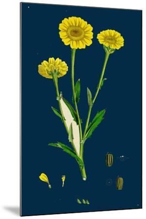 Poa Pratensis, Var. Subcaerulea; Smooth Meadow-Grass, Var. Y--Mounted Giclee Print