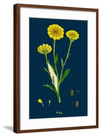 Poa Pratensis, Var. Subcaerulea; Smooth Meadow-Grass, Var. Y--Framed Giclee Print