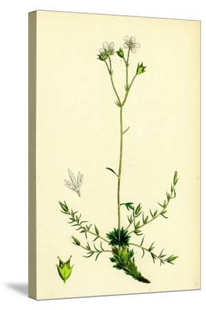 Saxifraga Eu-Hypnoides Var. Gemmifera Mossy Saxifrage Var. B--Stretched Canvas Print
