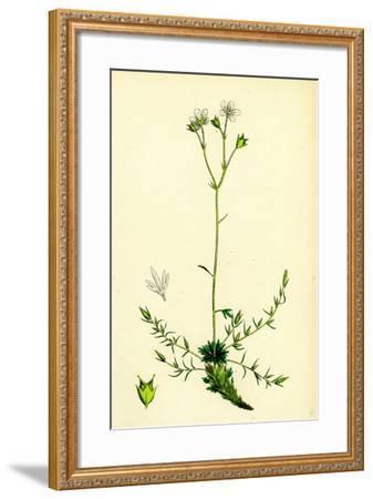 Saxifraga Eu-Hypnoides Var. Gemmifera Mossy Saxifrage Var. B--Framed Giclee Print
