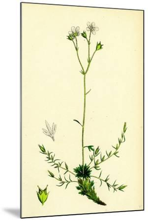 Saxifraga Eu-Hypnoides Var. Gemmifera Mossy Saxifrage Var. B--Mounted Giclee Print