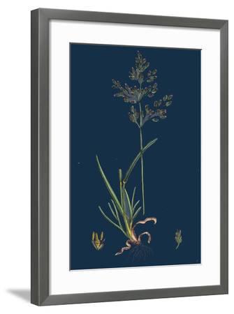 Chrysanthemum Inodorum, Var. Maritimum; Scentless Mayweed, Var. B--Framed Giclee Print
