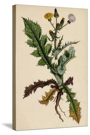 Sonchus Asper Rough Sow-Thistle Form with Pinnatifid Leaves--Stretched Canvas Print