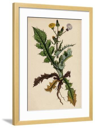Sonchus Asper Rough Sow-Thistle Form with Pinnatifid Leaves--Framed Giclee Print