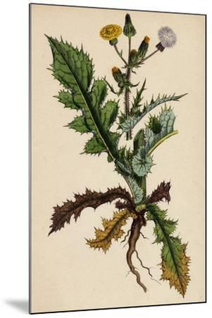 Sonchus Asper Rough Sow-Thistle Form with Pinnatifid Leaves--Mounted Giclee Print