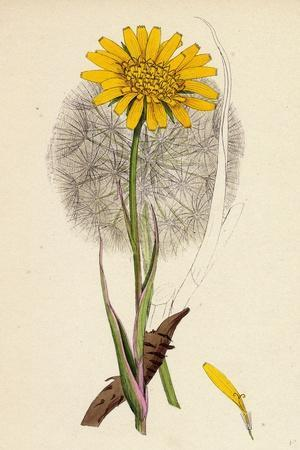 Tragopogon Pratensis Var. Grandiflorus Yellow Goat's-Beard Var. Y--Framed Giclee Print