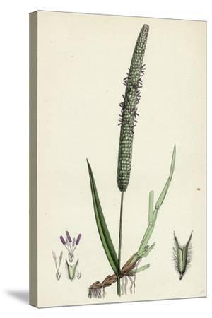 Phleum Pratense Var. Genuinum Common Timothy-Grass Var. A--Stretched Canvas Print