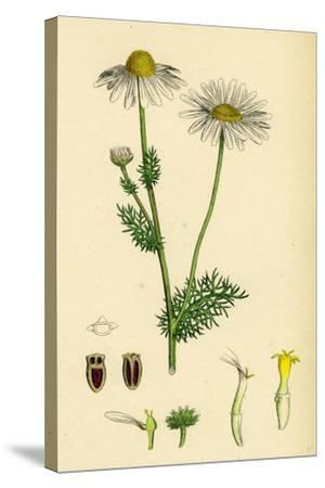 Chrysanthemum Inodorum Var. Genuinum Scentless Mayweed Var. A--Stretched Canvas Print