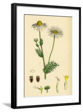 Chrysanthemum Inodorum Var. Genuinum Scentless Mayweed Var. A--Framed Giclee Print