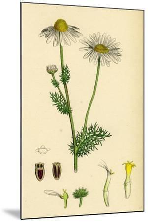 Chrysanthemum Inodorum Var. Genuinum Scentless Mayweed Var. A--Mounted Giclee Print