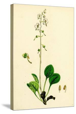 Pyrola Rotundifolia Var. Arenaria Round-Leaved Winter-Green Var. B--Stretched Canvas Print