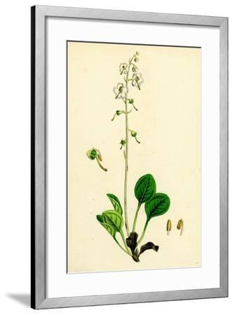 Pyrola Rotundifolia Var. Arenaria Round-Leaved Winter-Green Var. B--Framed Giclee Print