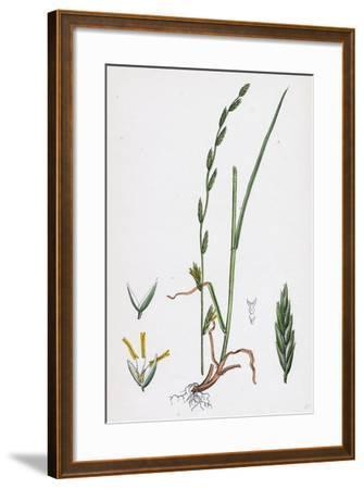 Festuca Pratensis Var. Loliacea Meadow Fescue-Grass Var. B--Framed Giclee Print