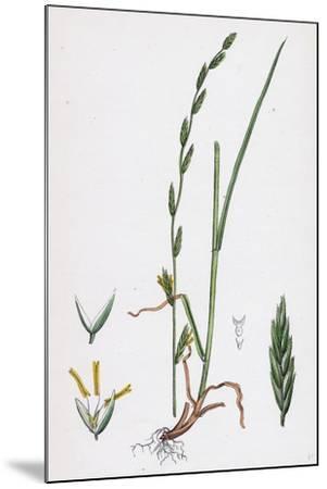 Festuca Pratensis Var. Loliacea Meadow Fescue-Grass Var. B--Mounted Giclee Print