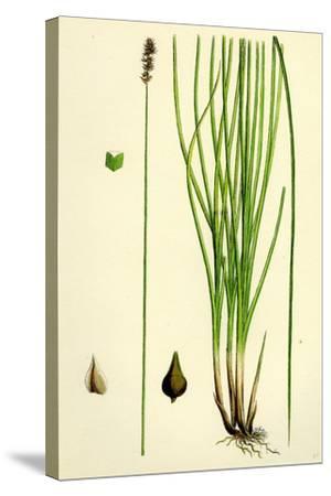Carex Teretiuscula Var. Ehrhartiana Lesser Panicled Sedge Var. B--Stretched Canvas Print