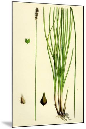 Carex Teretiuscula Var. Ehrhartiana Lesser Panicled Sedge Var. B--Mounted Giclee Print