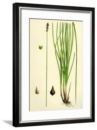 Carex Teretiuscula Var. Ehrhartiana Lesser Panicled Sedge Var. B--Framed Giclee Print