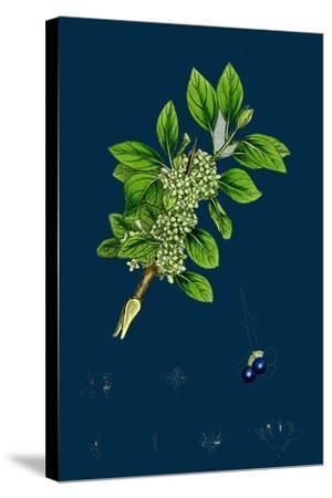 Ranunculus Heterophyllus; Various Leaved Water-Crowfoot--Stretched Canvas Print