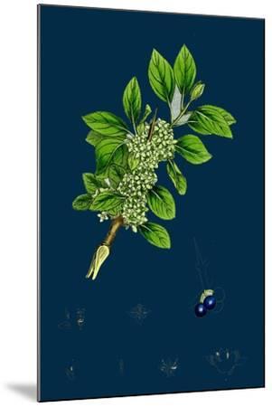 Ranunculus Heterophyllus; Various Leaved Water-Crowfoot--Mounted Giclee Print
