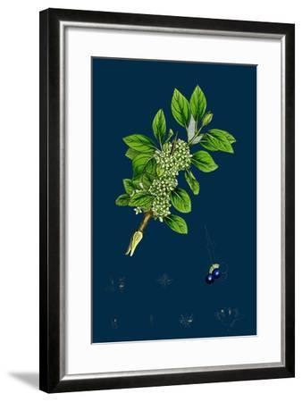 Ranunculus Heterophyllus; Various Leaved Water-Crowfoot--Framed Giclee Print