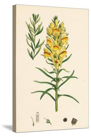 Linaria Vulgaris Var. Genuina Yellow Toadflax Var. A--Stretched Canvas Print