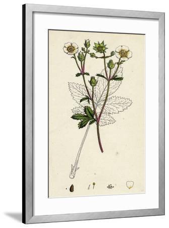 Potentilla Rupestris Strawberry-Flowered Cinquefoil--Framed Giclee Print