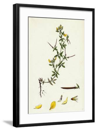 Lotus Diffusus Long-Podded Small Bird'S-Foot Trefoil--Framed Giclee Print