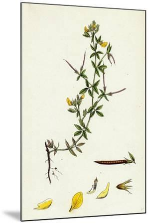 Lotus Diffusus Long-Podded Small Bird'S-Foot Trefoil--Mounted Giclee Print